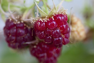 Raspberries | by MShades