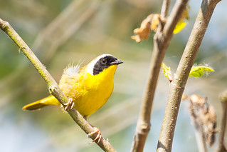 common yellowthroat | by Eric 5D Mark III