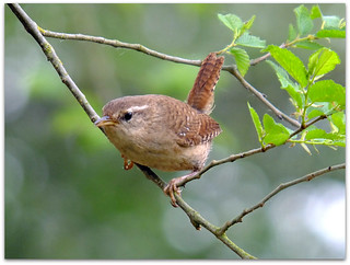 Wren on green! | by macfudge1UK