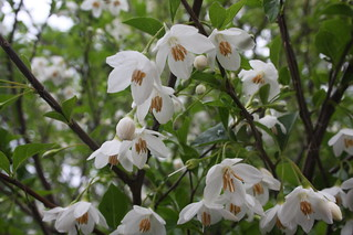 Styrax 'Japonicus' | by Hickory Hollow Nursery and Garden Center