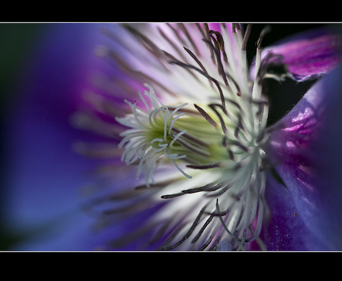 Clematis revisited | by Jan Gee