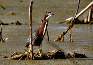 Green Heron | by CheepShot
