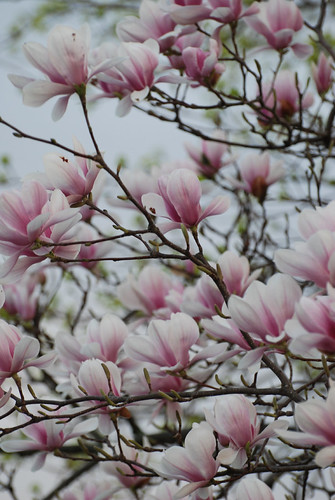earlypinkspring | by Aunt Owwee