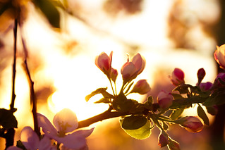 Apple blossoms at sunset | by Anna Gorin