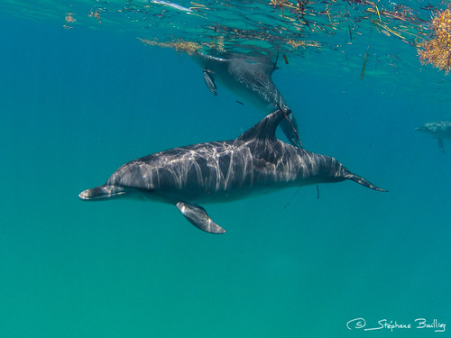 Atlantic Spotted Dolphins | by sbailliez