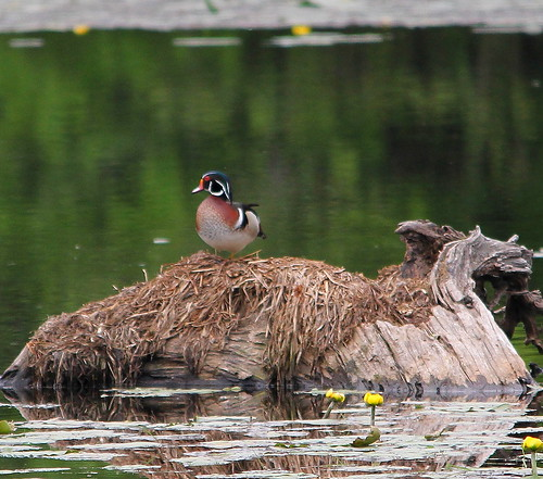 Wood Duck 2 | by AF3LMike