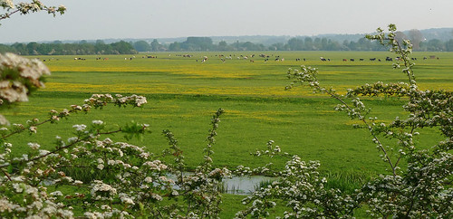 Buttercups, Wolvercote Common | by Elizabeth Moriarty