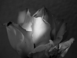 B&W Rose Highlights | by dleany