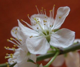 Damson blossom | by youngdick43 400,000+ views