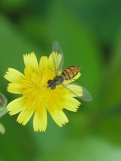 Who doesn't like Syrphid Flies? | by T Martin2010