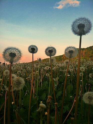 Sea of Dandelions - (explored) | by BLACK EYED SUZY