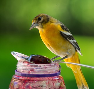 a female Baltimore Oriole .....she found the jar of grape jelly! | by bonnie5378