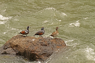 Threesome of Harlequin Ducks | by littlebiddle