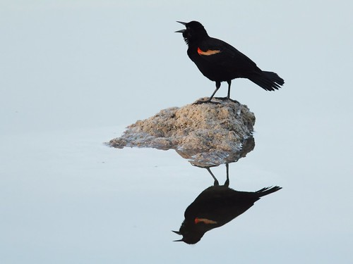 Red-winged Blackbird reflection 20140406