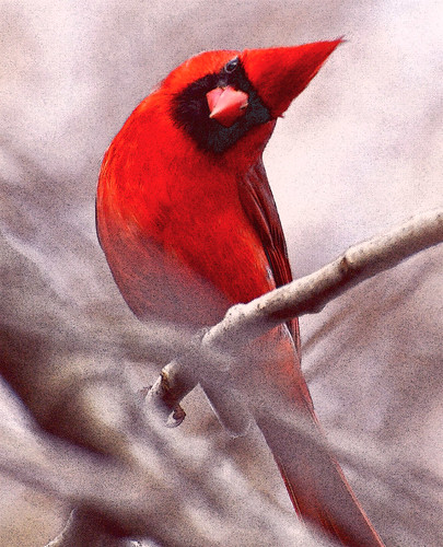 Red Cardinal with a cute head tilt!! | by mamaroo10 ~~Have a nice day!!! ;-))