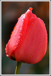 Sunshine After The Rain. Tulip Red 01a | by Magic Moments by Pippa