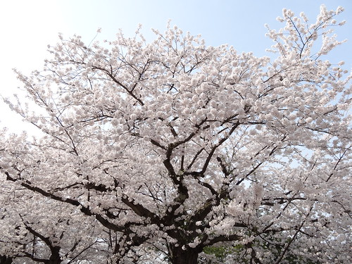 Cherry blossoms (Somei-yoshino) | by peaceful-jp-scenery
