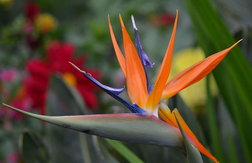 Bird of Paradise | by Vive le Roi