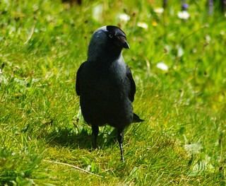 Jackdaw | by kevin-64