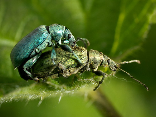 Weevil Love | by Barry Lloyd
