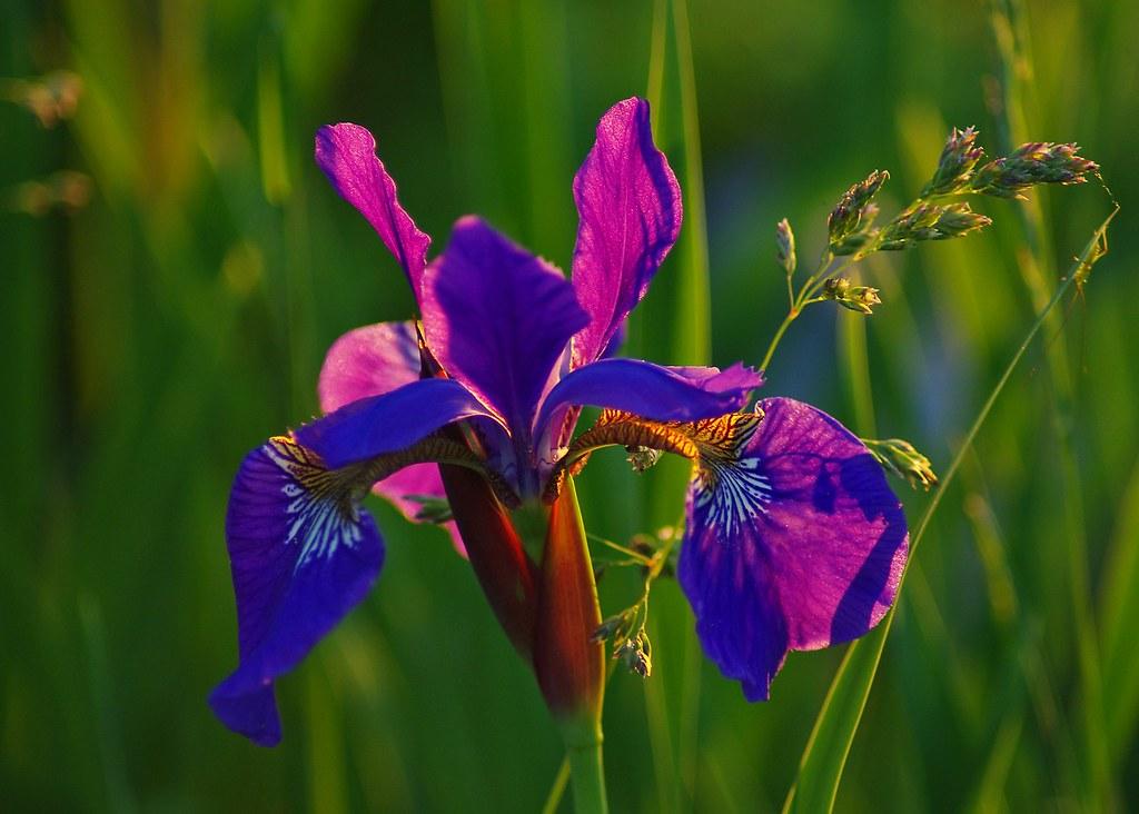 Iris Most Beautiful Flower