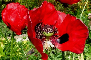 Mohn, innen | by cu♥re di marmo