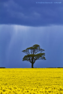 Oilseed rape fields, Norfolk, explored - thank you for over 8,000 views and 900 comments | by natworld50