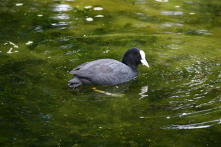 Coot on Mill Pond | by wjpme