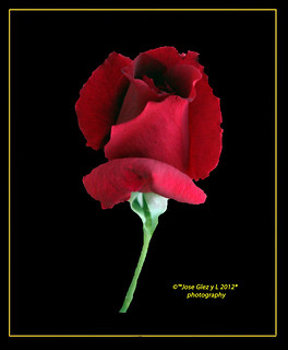 Red rose in black. | by Pepe (ADM)