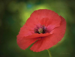 Poppy | by joeke pieters