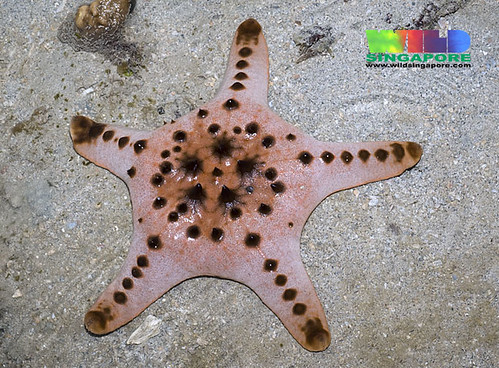 Knobbly sea star (Protoreaster nodosus) | by wildsingapore