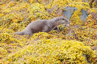Otter, Isle of Mull | by rdknight