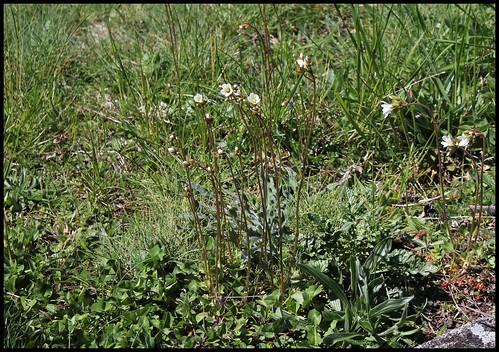 Saxifraga granulata (1)