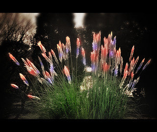 Britain in Bloom - Rare Firework Plant | by Ian Johnston LRPS