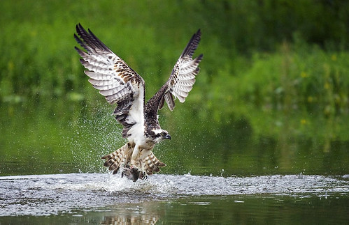 Osprey dropping in for a spot of fishing | by Margaret J Walker