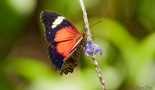 Red Lacewing Cairns (Cethosia cydippe) | by stan_dea