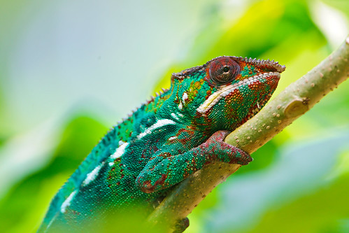 Chameleon on the branch | by Tambako the Jaguar