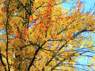 Yellow leaves in tree - h2277 | by SouthernBreeze