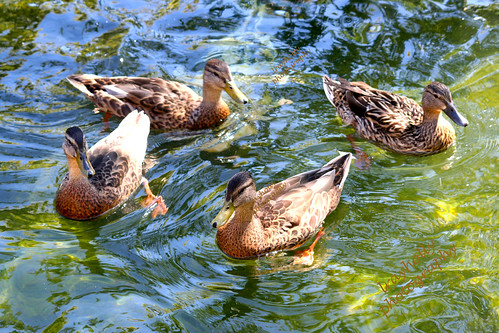 Duck, Duck, Goo… Hey!  Where the hell did he go? | by lrayholly