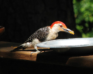 male Red-bellied woodpecker | by Vicki's Nature