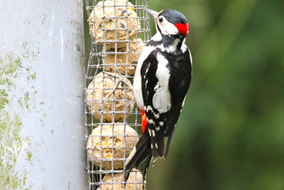Greater Spotted Woodpecker | by S C photos