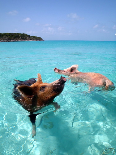 08.2012 Vorobek Bahamas - swimming pigs | by cdorobek