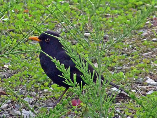 Young Blackbird (male) in the grass | by presbi