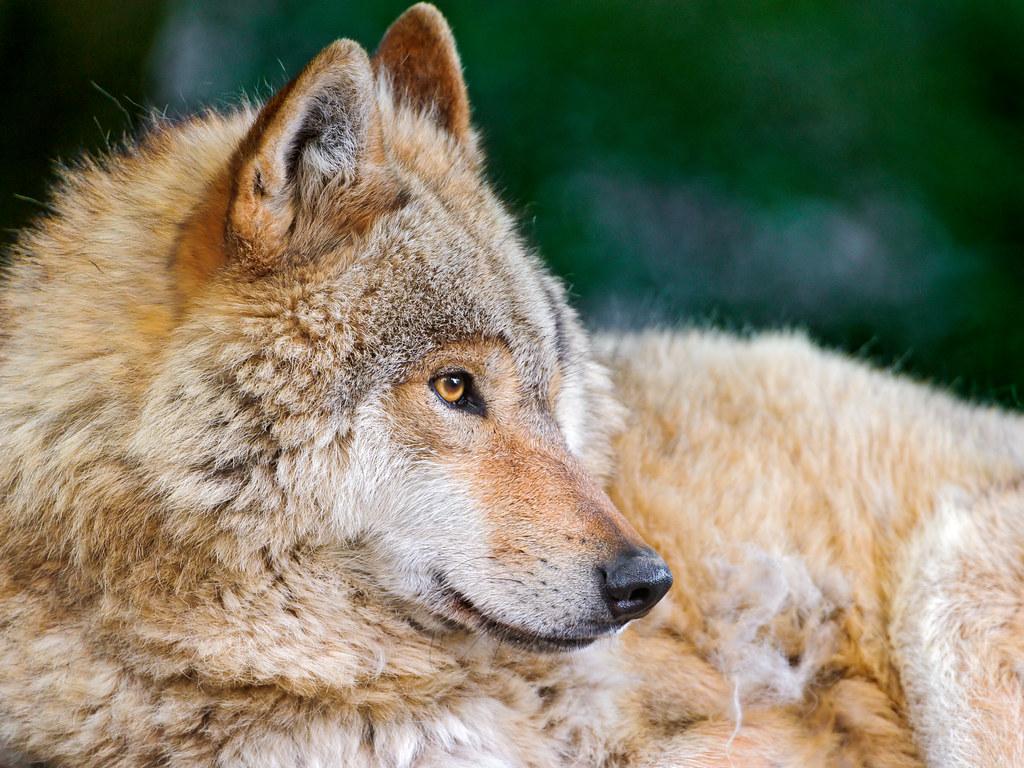pretty wolf profile a quite classical picture progfile po flickr
