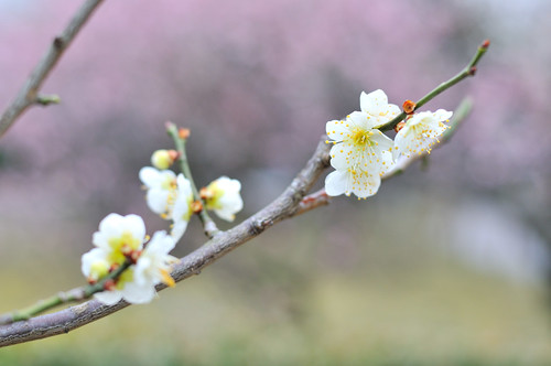 Japanese Apricot | by Rin.U