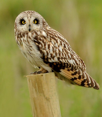 Short eared owl | by Jillandcamera
