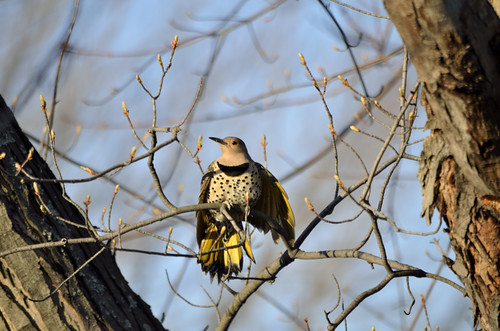 Yellow Shafted Flicker | by Dean Martin (Thirdeyepics)
