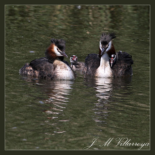 Great Cressted Grebe´s  family - IMG_8637tcs | by jm_villarroya