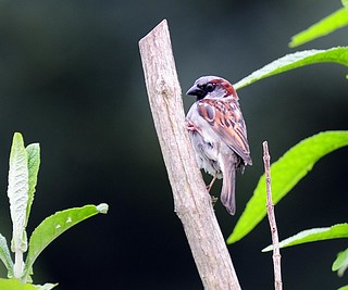 House Sparrow | by Au13J