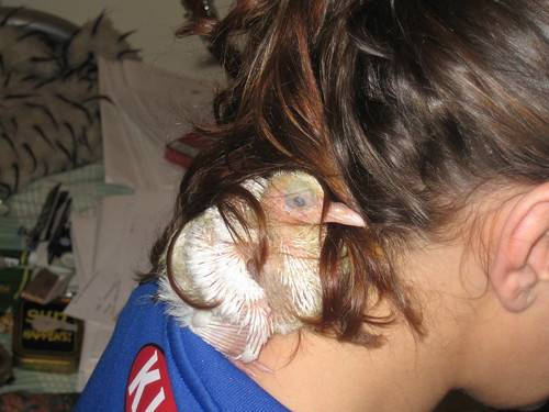 Baby Bird   Fantail Chick nestling in the nape of my neck ...